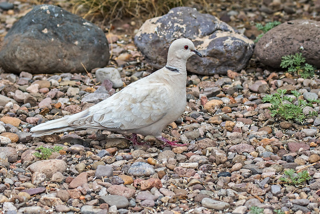 Ring-Turtle-Dove-10-7D2-042218