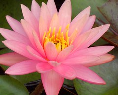 Beauty of a Pink Lily