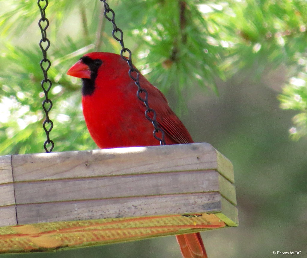 Cardinal at our feeder