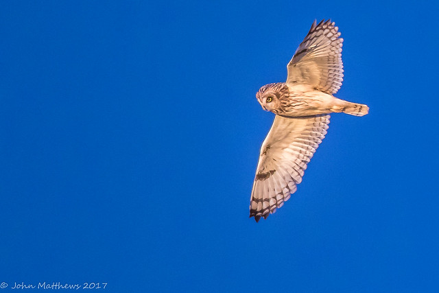 Short-eared Owl-6821.jpg, Canon EOS 7D MARK II, Canon EF 600mm f/4L IS