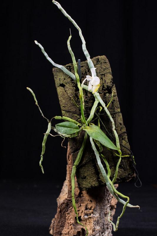 Orchideen-Neuzugang 2 27121719508_ee59a594dc_c