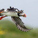 atlantic puffin by annmpachecophotography.com