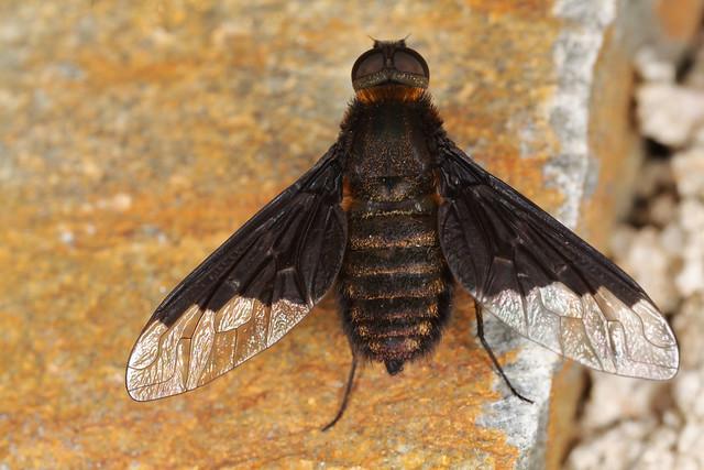 Hemipenthes morio (Linnaeus, 1758) = Musca morio Linnaeus, 1758, l'hémipenthe demi-deuil ou anthrax noir.