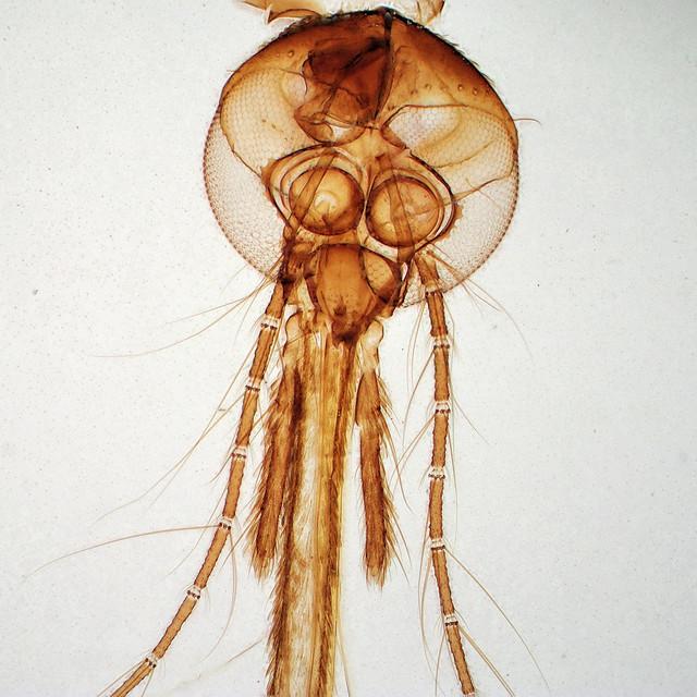 20180318mosquito19stack