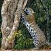 Jaguar (Andrew Griffin)