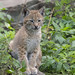 Northern lynx cub, Highland Wildlife Park, Kincraig, Highland, Scotland, UK
