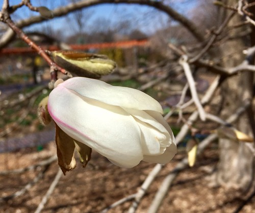 March 21 - magnolia blossom