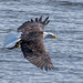 Small photo of Eagle With Fish