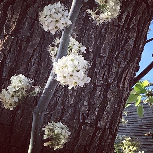 spring tree flowers blooming lubbock bark