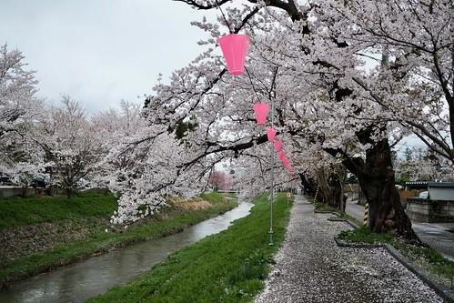 桜の花、舞い上がる道を 2018