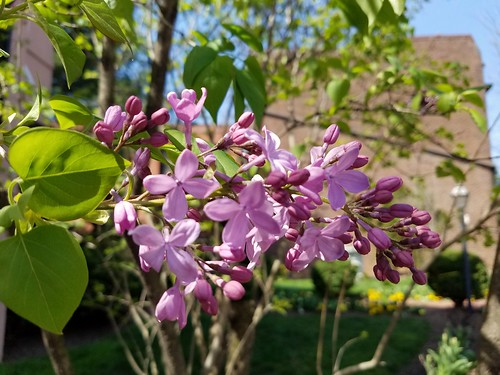 First Lilac of the Season