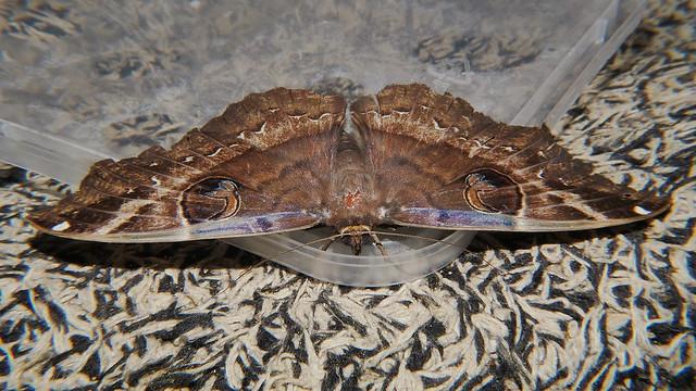 After Big night white spotted Owl moth Erebus sp aff crepuscularis Erebinae Erebidae on door mat Airlie Beach P1220959