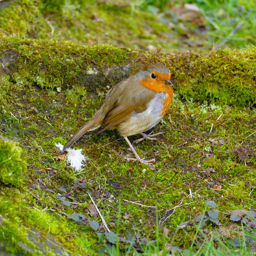 Robin on a mossy stone