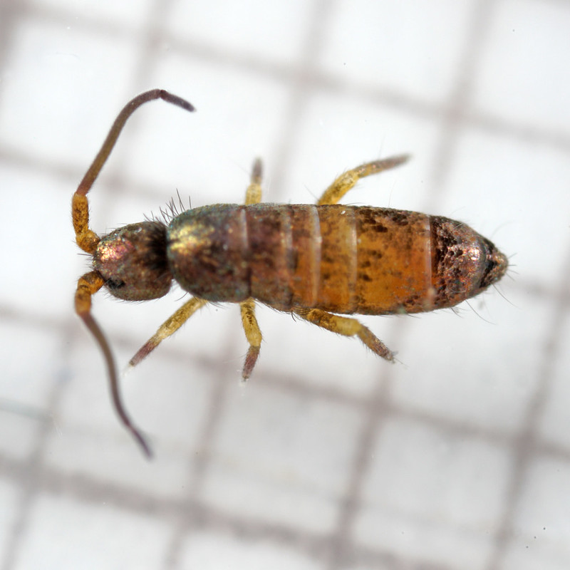 Tomocerus minor