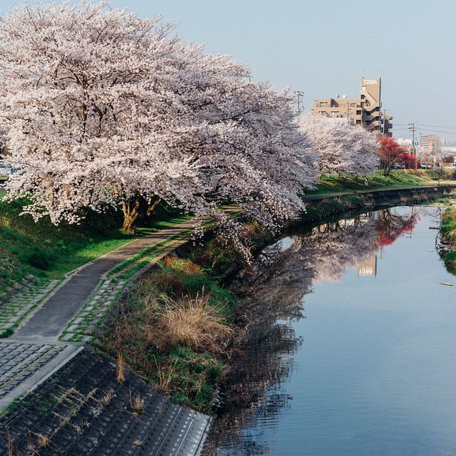 CherryBlossoms_61