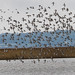 A small part of a very large flock of Godwits