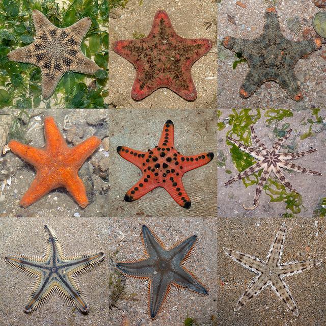 Sea stars of Singapore