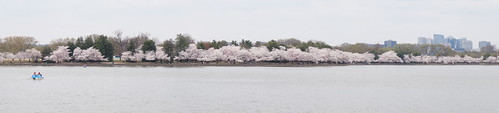 DC Cherry Blossoms 2018