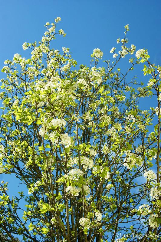 Цветущее дерево из Порто Монтенегро