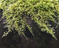 Mossy Fronds