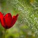 Tulipa Cypria III