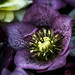 floating hellebore bloom, Vancouver, BC by gks18