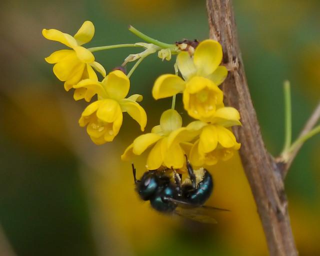 Native Bee on Agarita