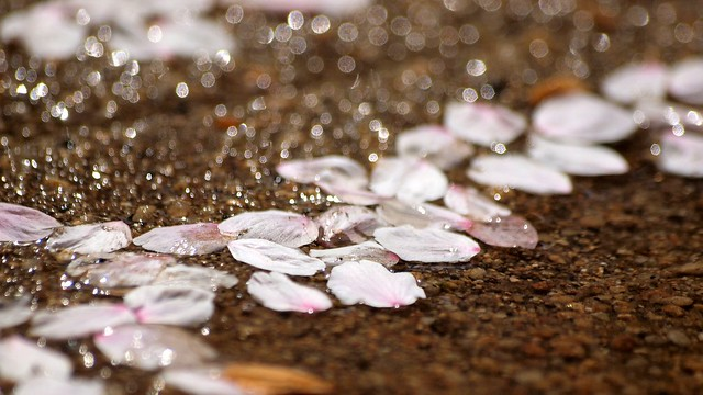 Photo:fallen petals By coniferconifer