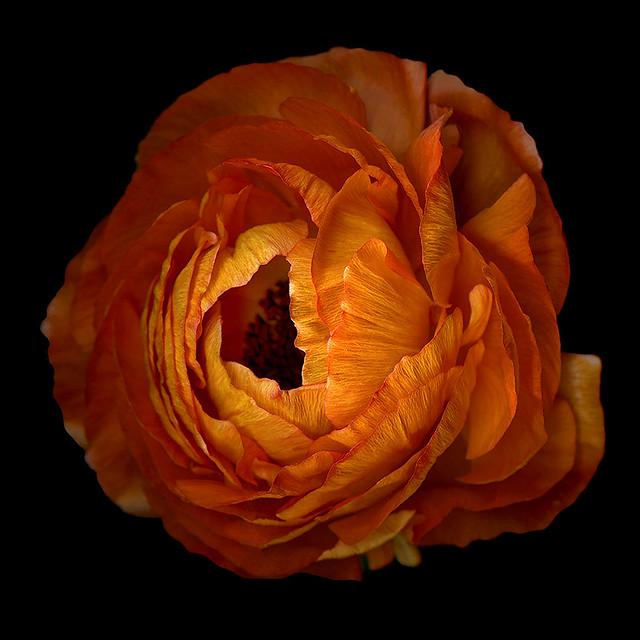 RUFFLED... Ranunculus