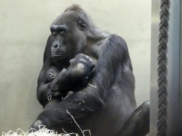 Gorilla Tuana mit Pelu, Wilhelma
