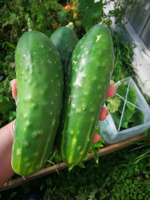 3 individual cucumbers