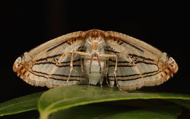 Leaf Moth (Thyrididae), unidentified, Canon EOS 80D, Canon EF 100mm f/2.8L Macro IS USM