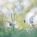 Schachbrettblume - Fritillaria meleagris - checkered lily