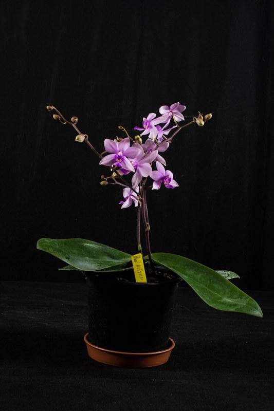 Orchideen-Neuzugang 2 40099642965_05249861a5_c