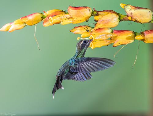 pichincha ecuador ec whitewhiskeredhermit hermit hummingbird phaethornisyaruqui phaethornis phaethornithinae trochilidae nigelje sanjorgedemilpe sanjorgeecolodges