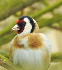 Goldfinch Singing in a Bush - Cresswell