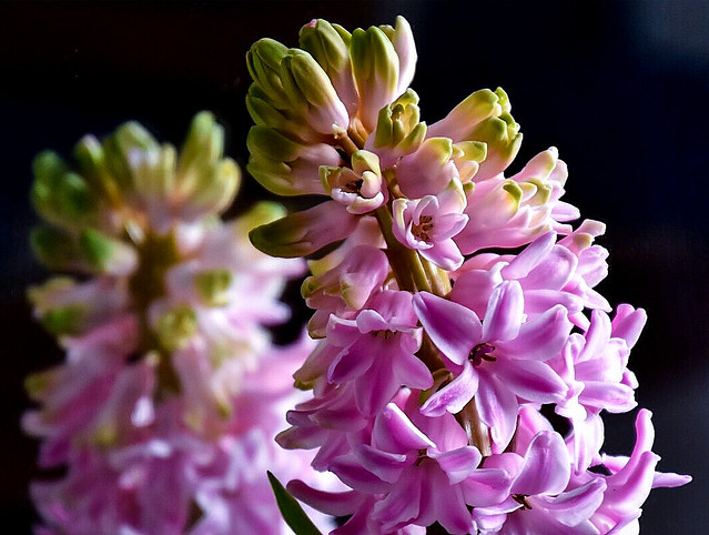 Reflections of a Hyacinth