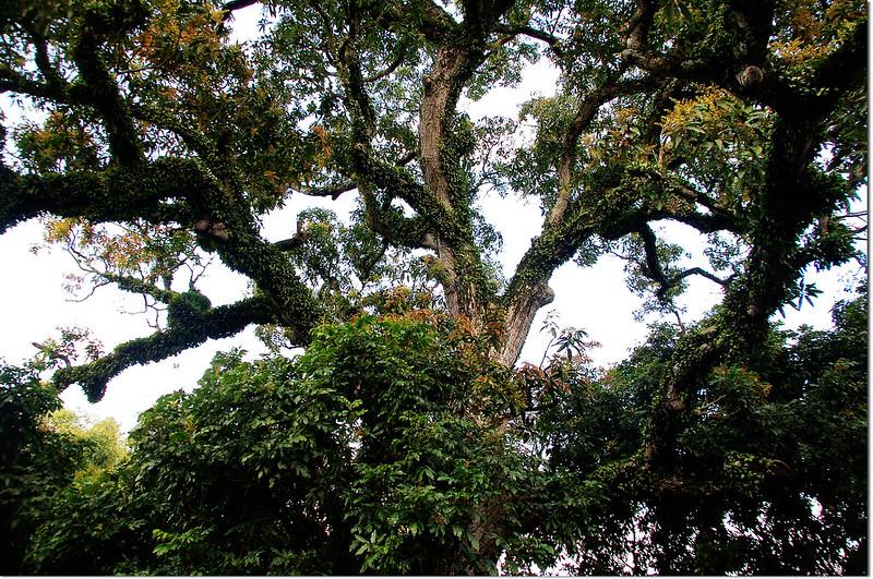 三重溪山大芒果樹
