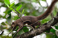 Трёхцветная белка , Callosciurus notatus, Plantain squirrel