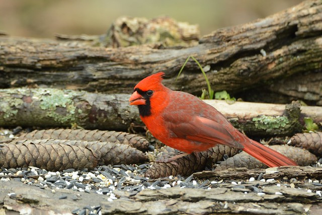 Northern Cardinal male by Jackie B. Elmore 3-10-2018 Lincoln Co. KY