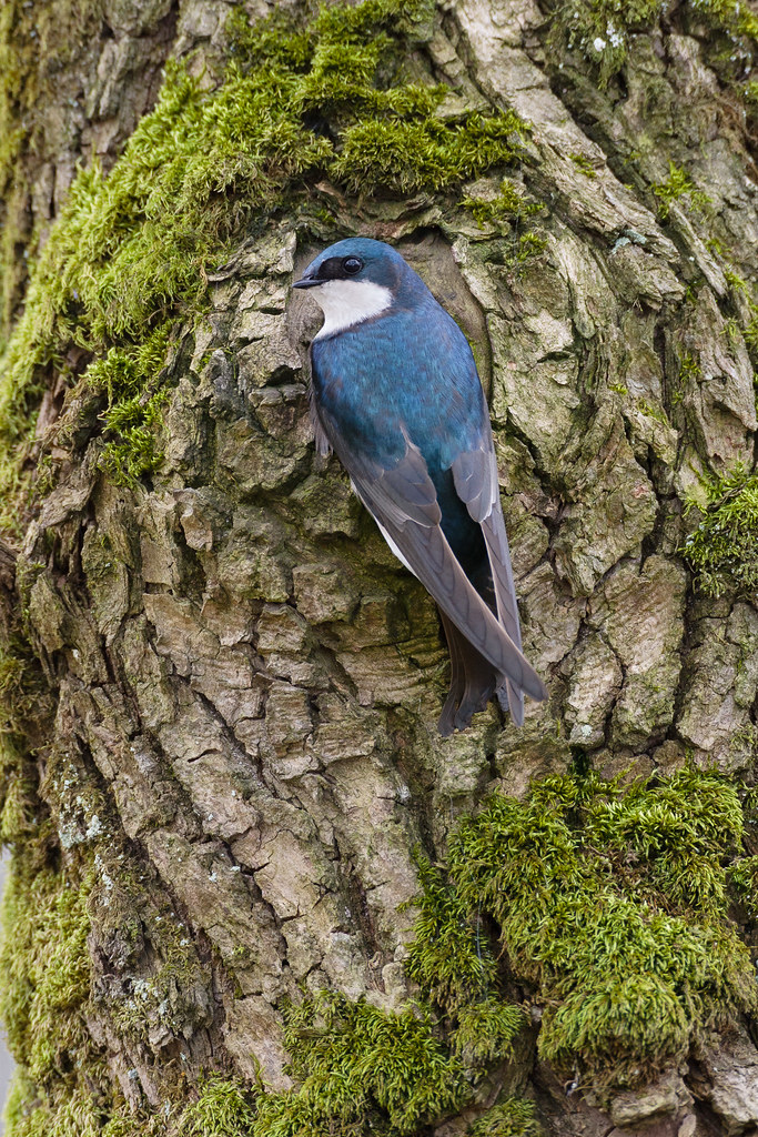A tree swallow perches on a moss-covered tree at Ridgefield National Wildlife Refuge in Washington