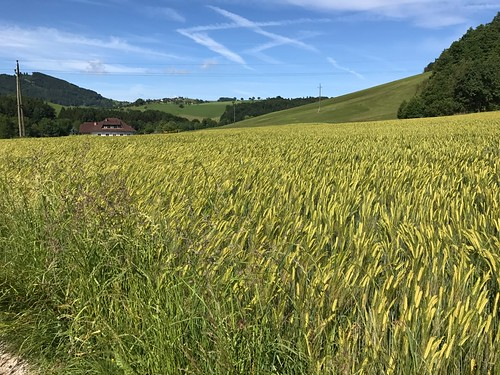 Austrian wheat