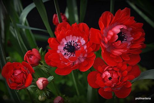 2018-04-081  deep red joy in my garden, manipulated image