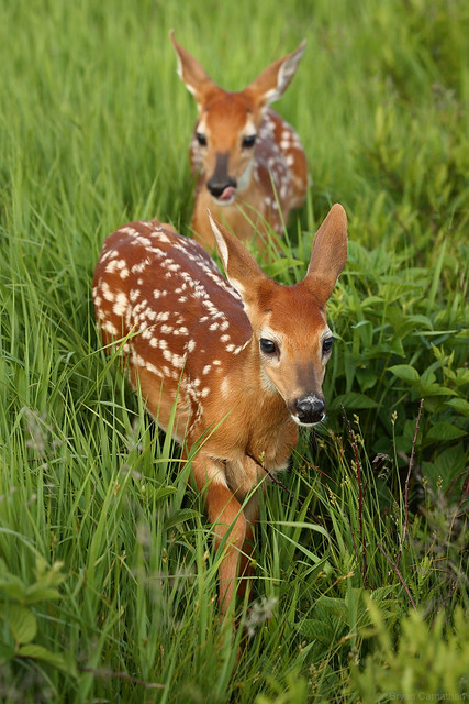 Whitetail Fawns – Cutest Animals on the Face of This Planet?