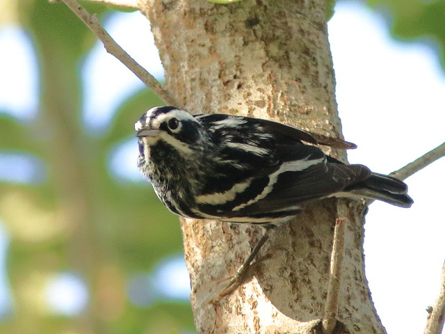 Black-and-White Warbler 05-20180414