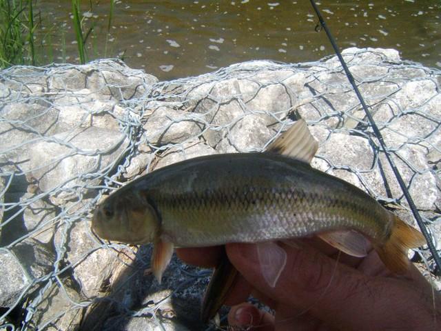 creek chub | Flickr - Photo Sharing!
