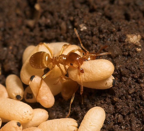 Yellow Meadow Ant (lasius flavus) and eggs