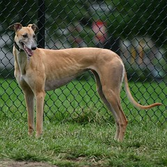 dog sports, dog breed, animal, magyar agã¡r, dog, polish greyhound, whippet, galgo espaã±ol, sloughi, pet, lurcher, italian greyhound, greyhound, carnivoran, azawakh,