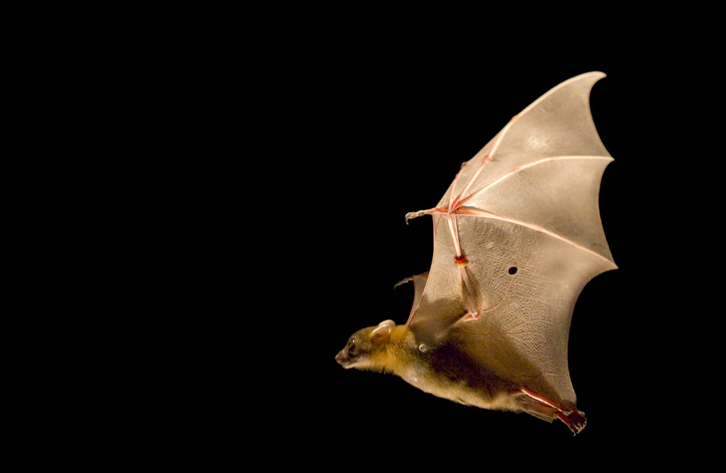 essay on vampire bats Conserving the world's bats and their ecosystems to ensure a healthy planet.