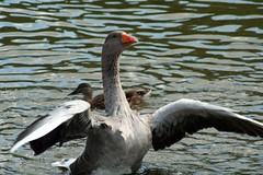 black swan(0.0), swan(0.0), canard(0.0), animal(1.0), water bird(1.0), goose(1.0), duck(1.0), wing(1.0), fauna(1.0), seaduck(1.0), beak(1.0), bird(1.0), wildlife(1.0),